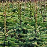 Kerstbomen te koop bij familie Van Mastwijk