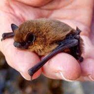 Vleermuizen en huismussen onderzoek Zwammerdam